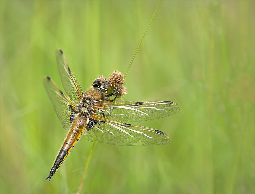 Female Four Spotted Chaser