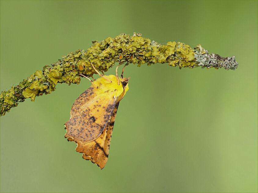 Canary Shoulder Thorn Moth
