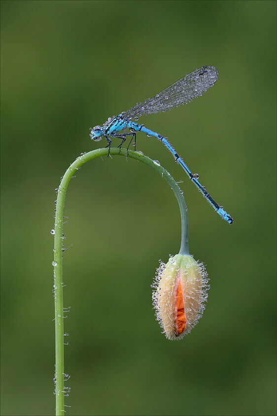Azure Blue Damselfly and Poppy Head