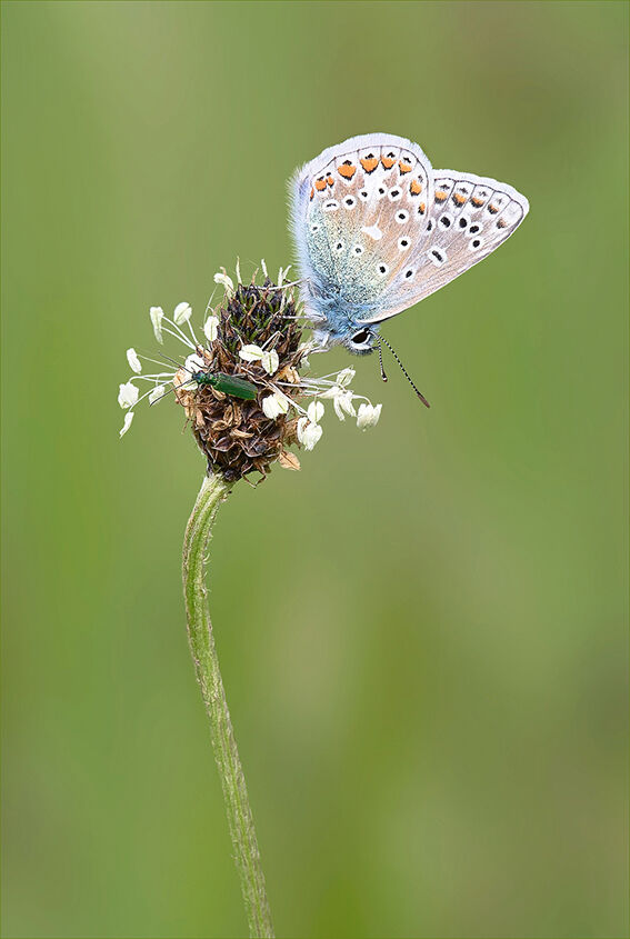 Male Common Blue Butterfly and Bug
