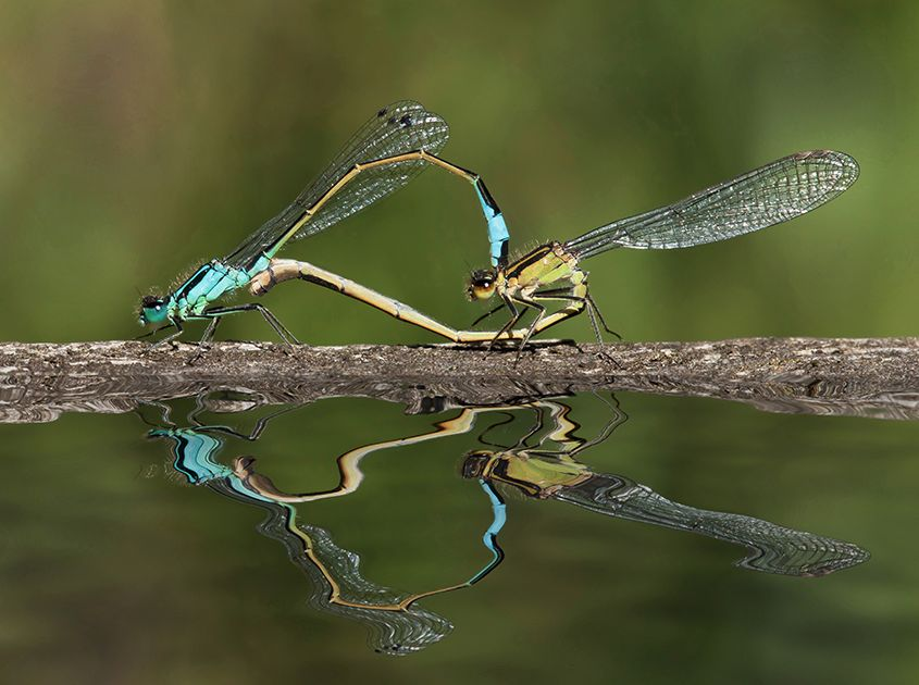 Blue Tailed Damselflies Paired