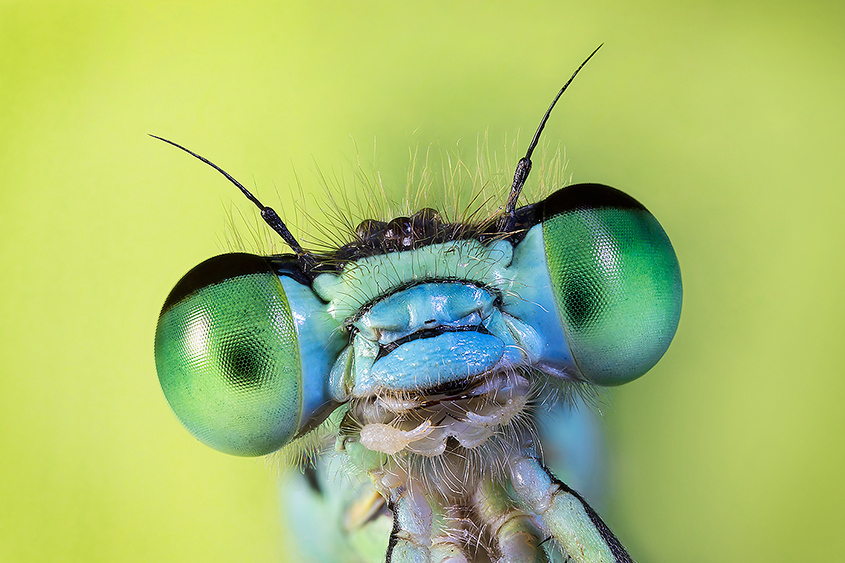 Portrait of a Blue Tailed Damselfly