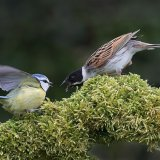 Blue Tit and Reed Bunting Squabble