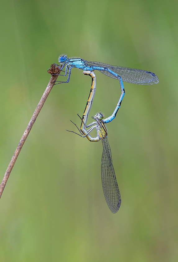 Common Blue Damselflies Paired No3