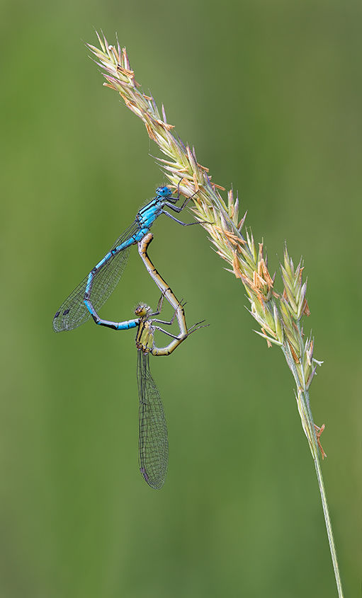 Common Blue Damselflies Paired No2