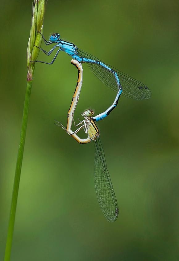 Common Blue Damselflies Paired