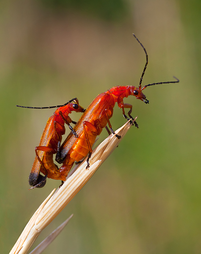 Common Red Soldier Beetles Paired 01