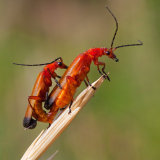 Common Red Soldier Beetles Mating