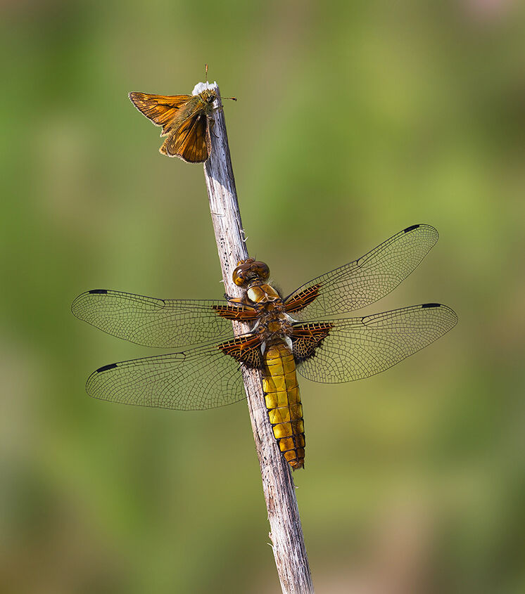 Broad Bodied Chaser and Large Skipper