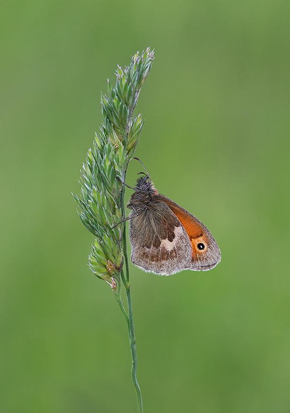 Female Meadow Brown Butterfly