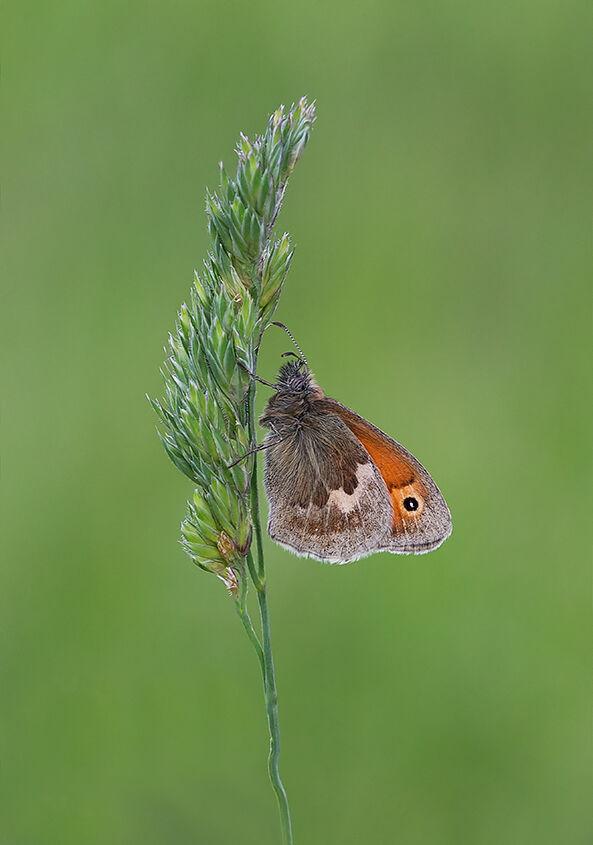 Male Small Heath Butterfly