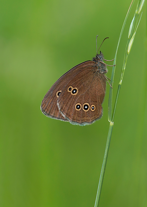 Female Ringlet Butterfly