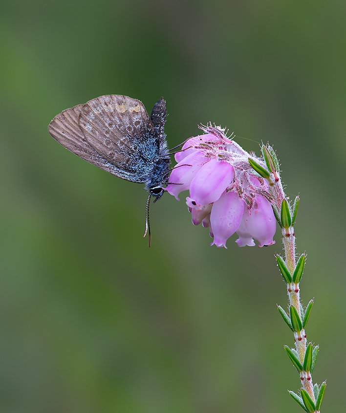 Female Silver Studded Blue