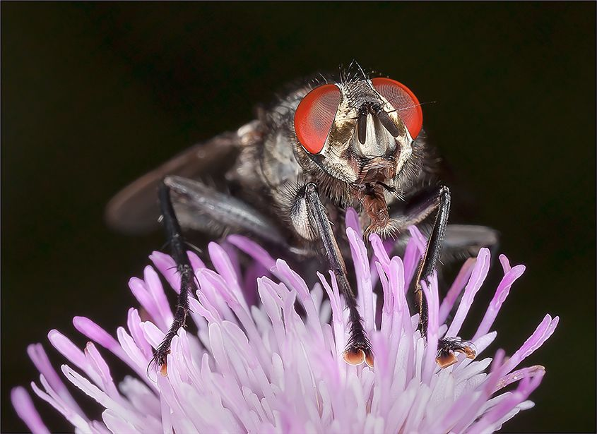 Flesh Fly with Mouth Open