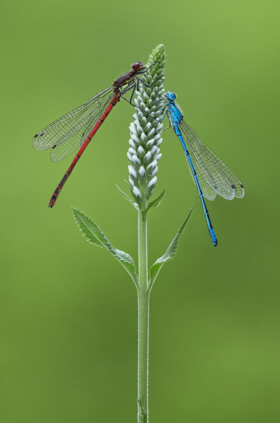 Large Red and Azure Blue Male Damselflies