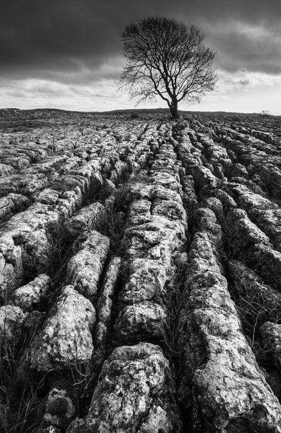 Lone Ash on Malham Lings