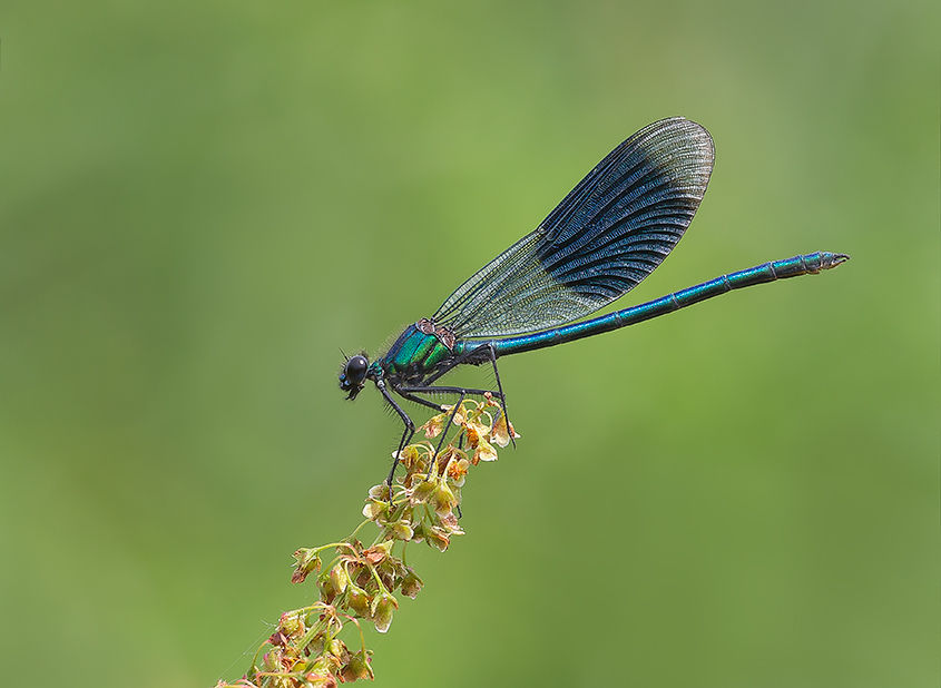 Male Banded Demoiselle No2