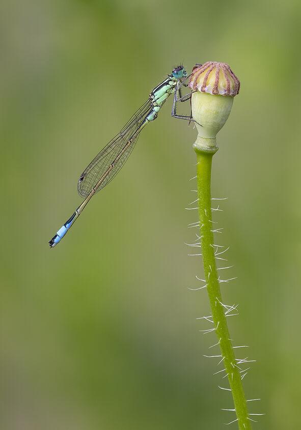 Male Blue Tailed Damselfly on Poppy Seed Head