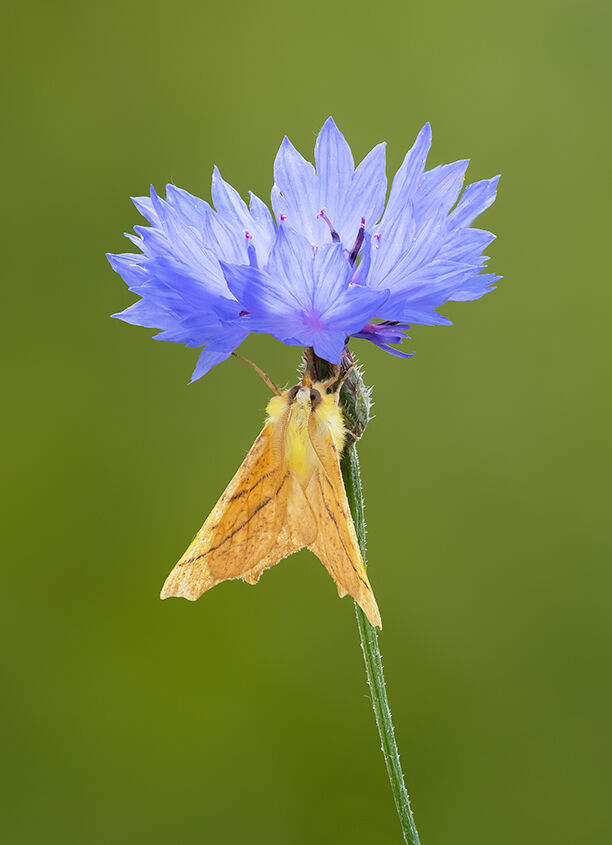 Male Canary Shouldered Thorn Moth on Cornflower