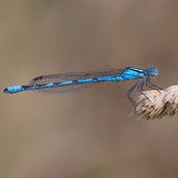 Male Common Blue Damselfly No2