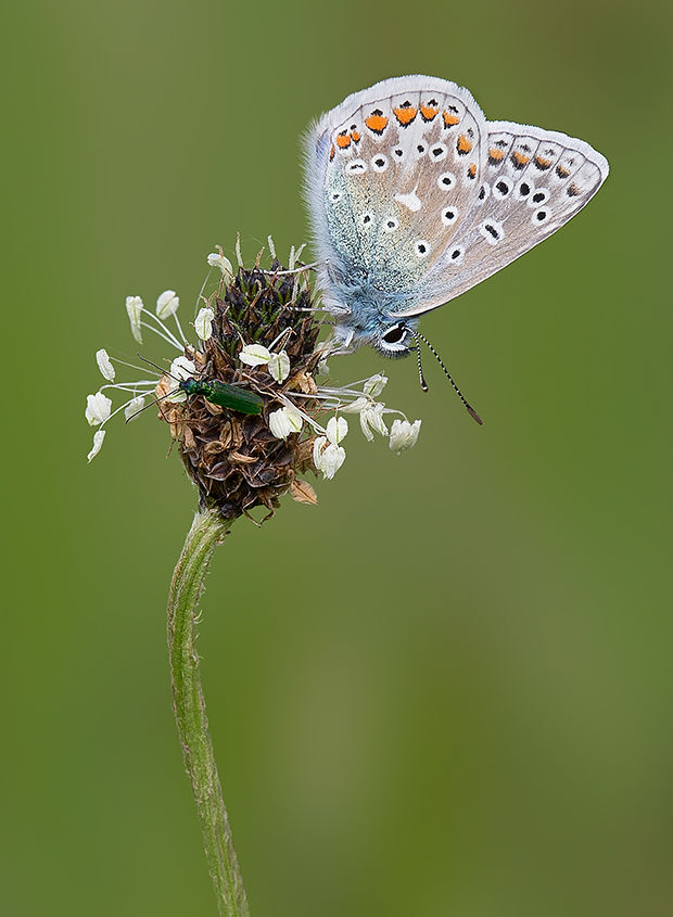 Male Common Blue Butterfly and Bug No2
