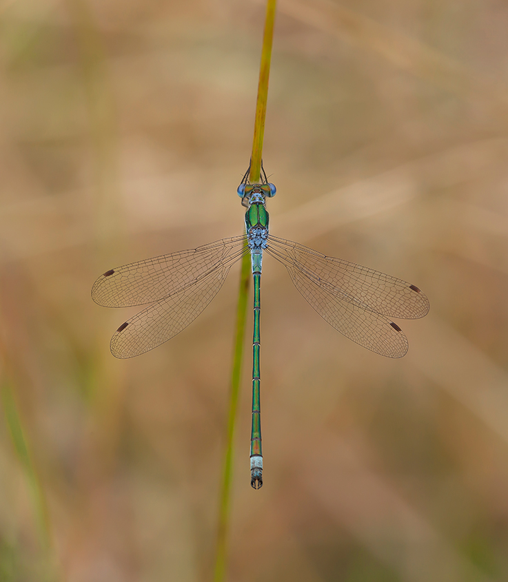 Male Emerald Damselfly 01