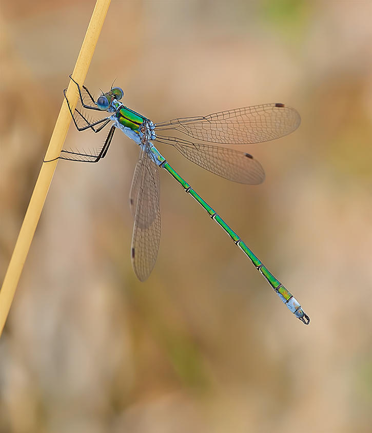 Male Emerald Damselfly