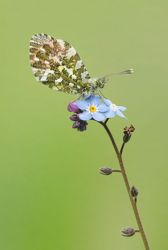 Male Orange Tip Butterfly
