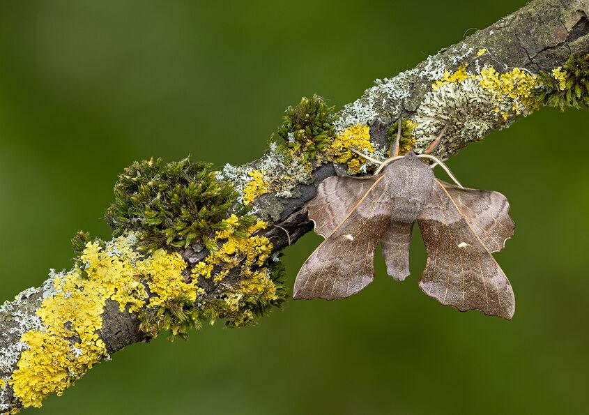 Male Poplar hawk Moth