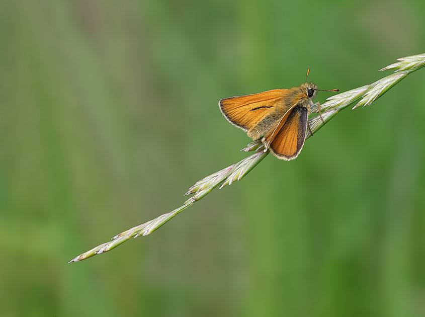 Male Small Skipper