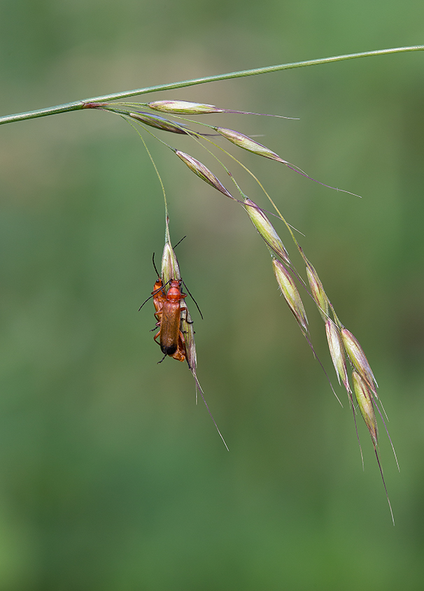 Common Red Soldier Beetles Paired 02
