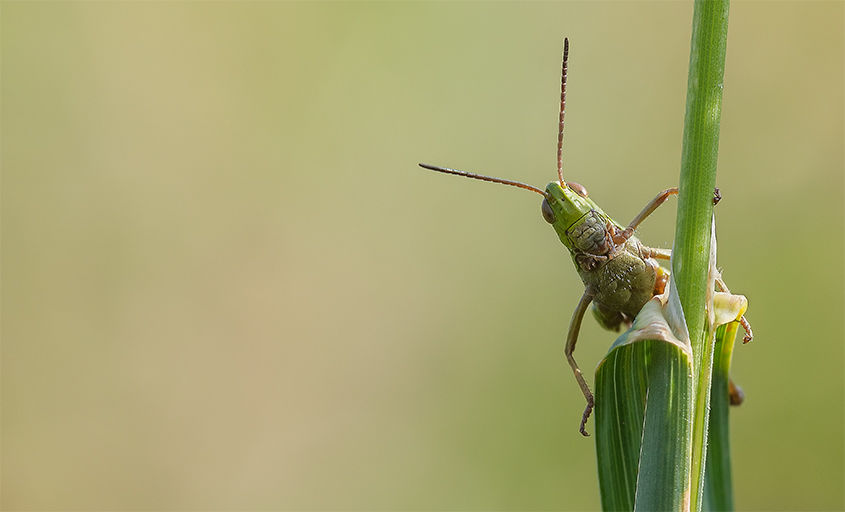 Meadow Grasshopper No2