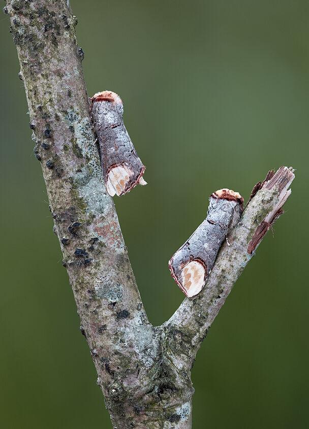 Pair Buff-tip Moths