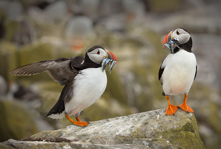 Pair of Puffins with Sand Eels