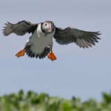 Puffin Descent