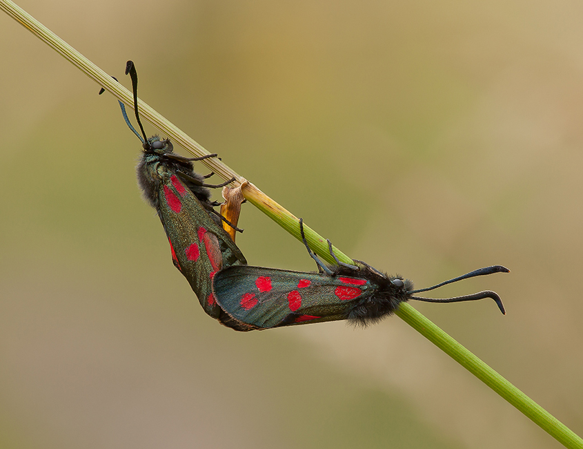 Six Spot Burnets Mating