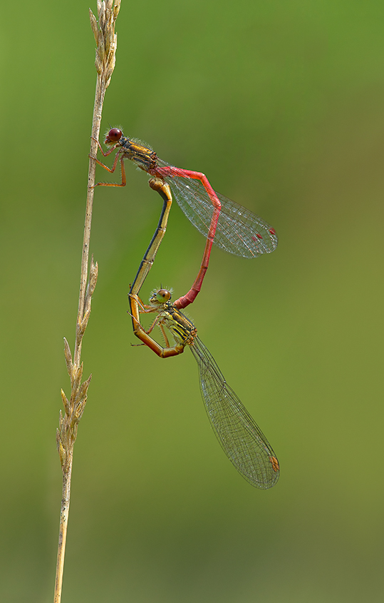 Small Red Damselflies Paired