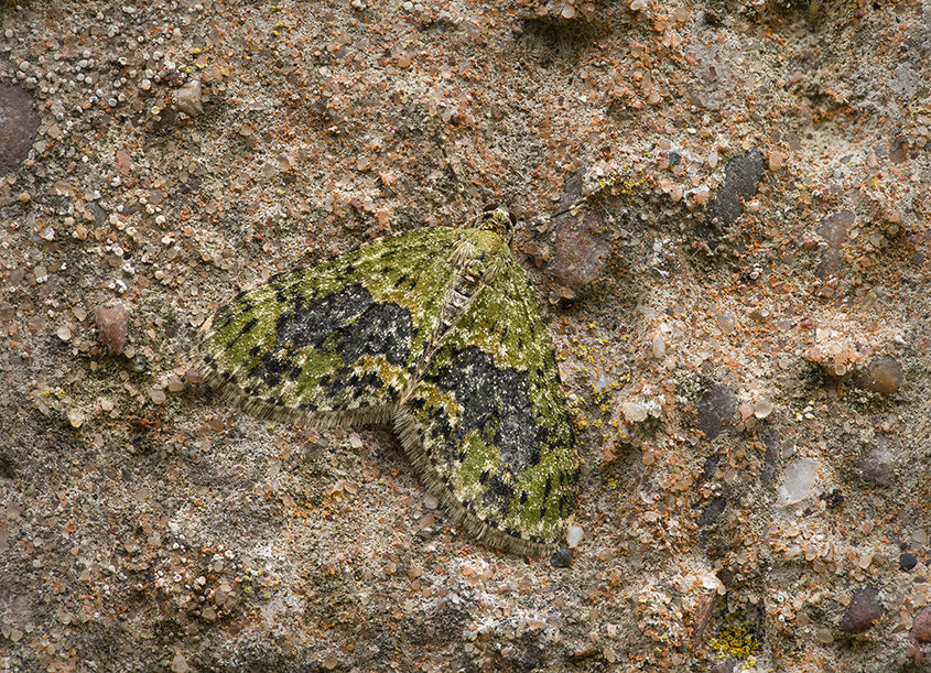 Yellow Barred Brindle Moth