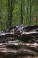 Redwoods10735 6 7
