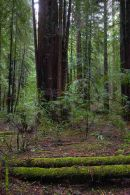 Redwoods10765 6 4