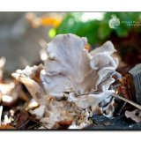 Branching Oyster