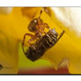 Garden Spider 8274