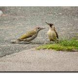 Green Woodpeckers