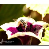 Hover Fly 0131