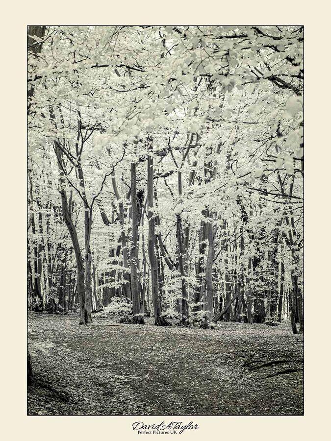 Infrared Photograph - Woodland walk