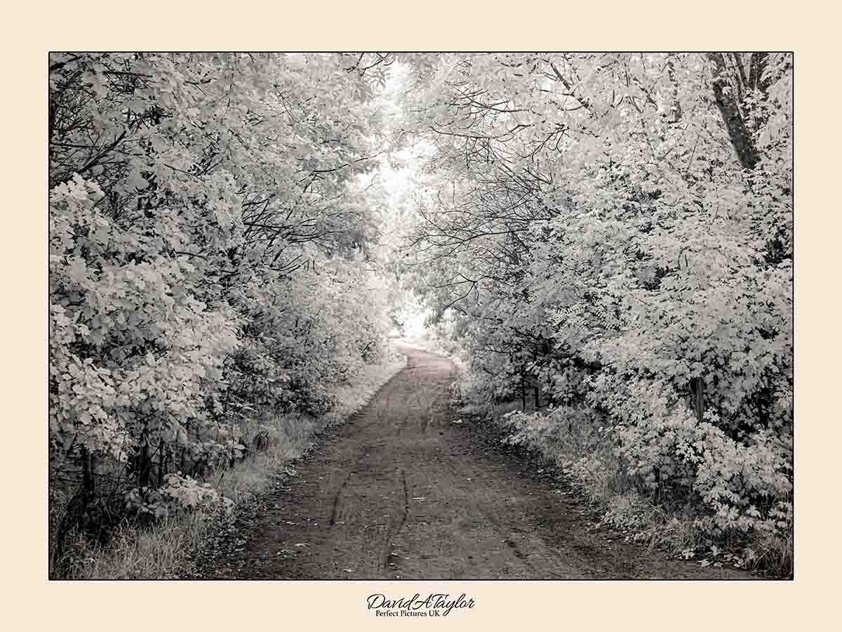 Infrared Photograph - Woodland path