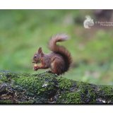Red Squirrel 0071