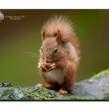 Red Squirrel 0076