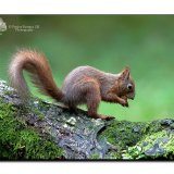 Red Squirrel 0084