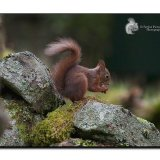 Red Squirrel 0126